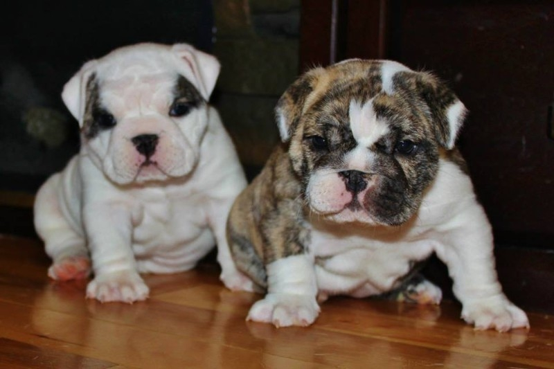 North Carolina 12 week old male and female English bulldog